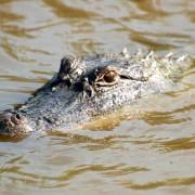 Later Gator – California bans crocodile & alligator from January 1, 2020